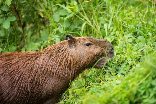 Kapibara w lesie