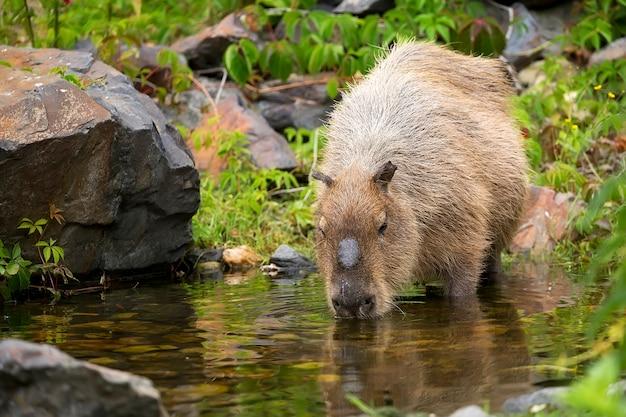 Kapibara w strumieniu