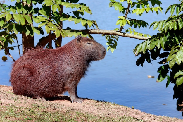 Kapibary zbliżenie przy krawędzią woda