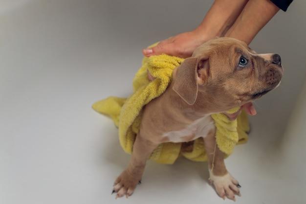 Kąpiel american bully, pitbull, czyszczenie psa, zmoczenie żółtego ręcznika do kąpieli.