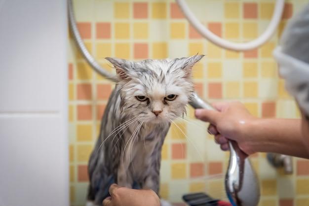 Kąpiel lub prysznic do perskiego kota szynszylowego, czuć się znudzony, czas nienawiści dla kota.
