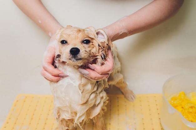 Kąpiel psa w salonie fryzjerskim pomorskim.