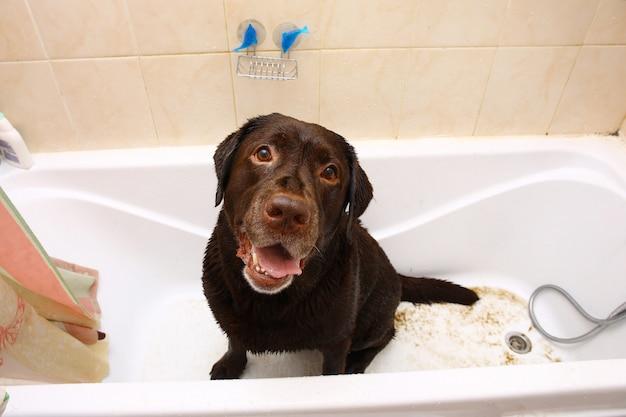 Kąpiel zabawnego ciemnobrązowego psa rasy labrador.