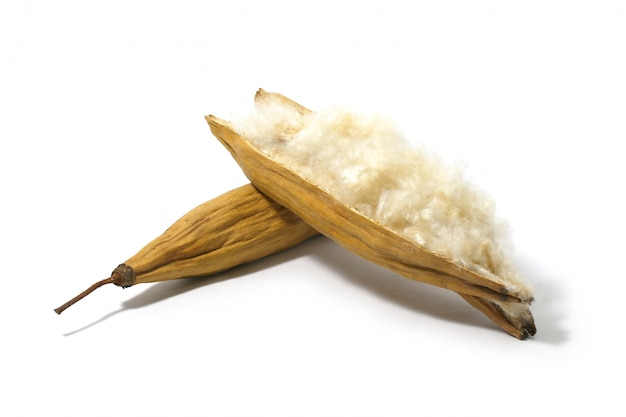 Kapok, ceiba pentandra lub białe jedwabne bawełniane drzewo na białym tle