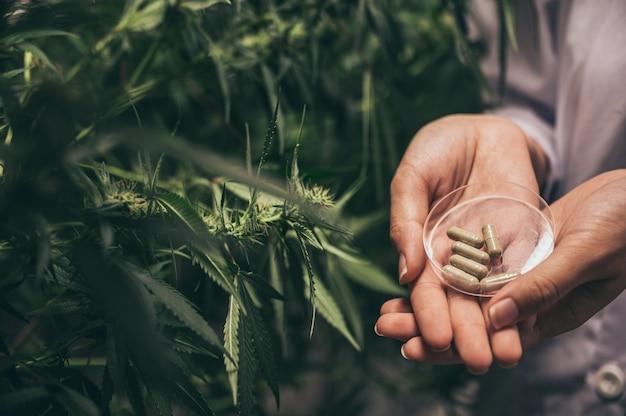 Kapsułki ziołowe z marihuany