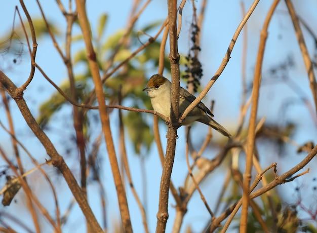 Kapturka zwyczajna (sylvia atricapilla) samiec i samica są zbliżeniami na krzaki czarnego bzu i w pobliżu wody w miękkim świetle poranka.