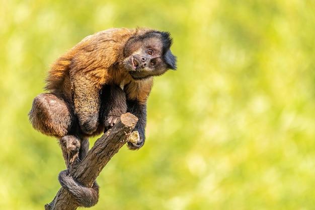 Kapucynka czernica (sapajus apella), aka macaco-prego na wolności w brazylii.