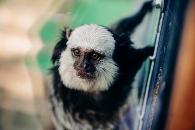 Kapucynów małpa czołga się na ścianie klatki w zoo