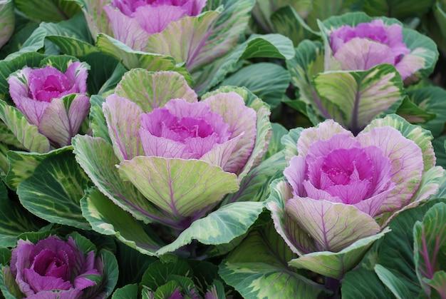 Kapusta ozdobna w ogrodzie botanicznym, kwiaty i rośliny, środowisko