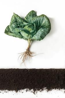 Kapusta rośnie w gruncie, przekrój gleby, kolaż wycinkowy. rosnąca roślina z izolowanymi liśćmi i systemem korzeniowym. koncepcja rolnictwa, botaniki i rolnictwa