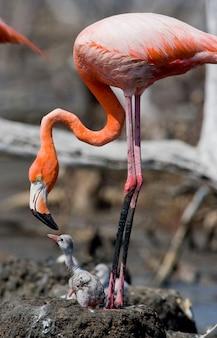 Karaibski flaming na gnieździe z pisklęciem. kuba.