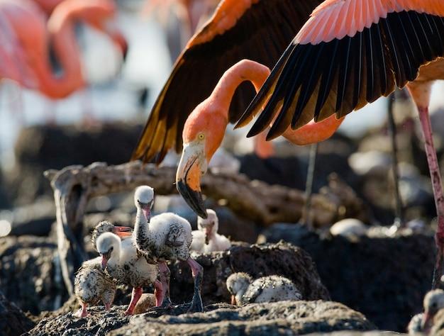 Karaibski flaming na gnieździe z pisklętami