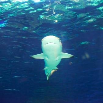 Karaibski rekin rafowy (carcharhinus perezii) w błękitnej wodzie oceanu