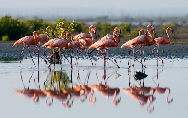 Karaibskie flamingi stoją w wodzie z odbiciem