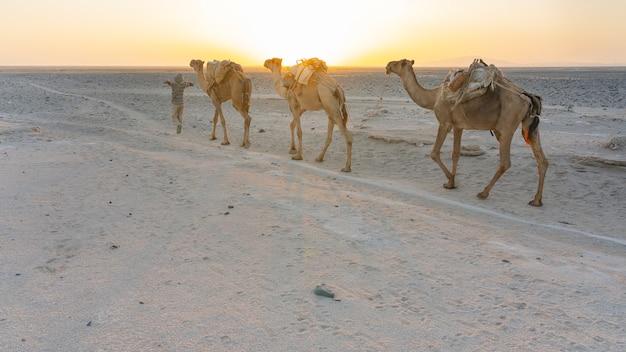 Karawana dromaderów transportujących sól prowadzona przez daleka mężczyznę w depresji danakil w etiopii