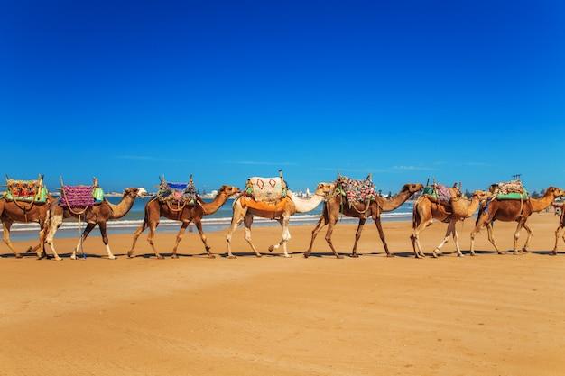 Karawana wielbłądów jedzie wzdłuż wybrzeża oceanu atlantyckiego.