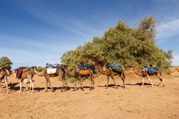 Karawana wielbłądów na pustyni sahara
