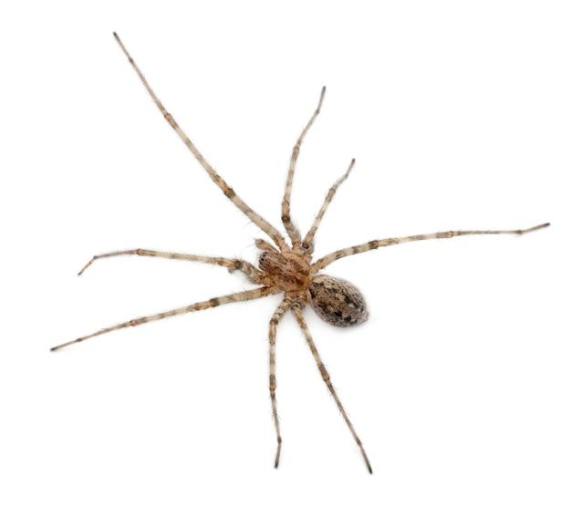 Kardynał pająk - tegenaria parietina, odizolowany