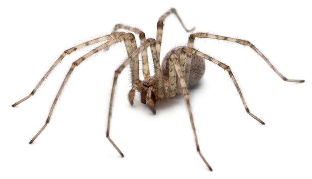 Kardynał pająk - tegenaria parietina, odizolowywający na bielu