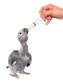 Karmienie dziecięcej papugi
