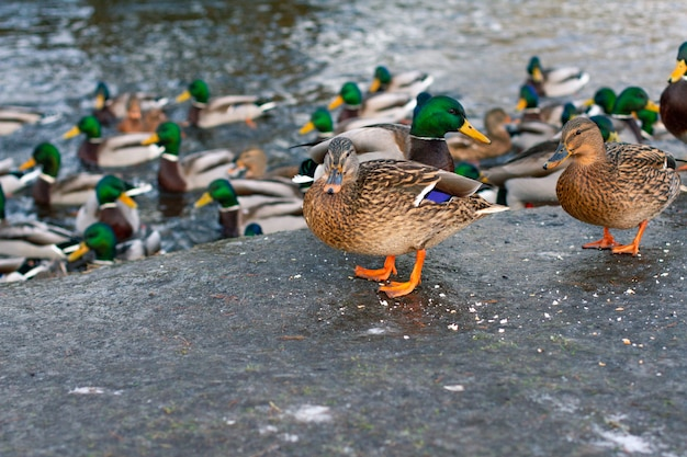 Karmienie dzikich kaczek w sezonie wiosennym. miasto kaczki na brzegu jeziora.