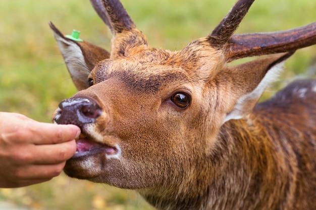 Karmienie jeleni. samiec jelenia zjada się z rąk człowieka. hodowla reniferów.