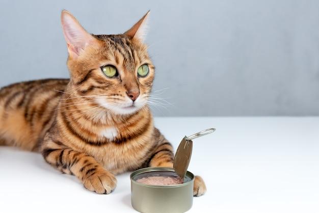 Karmienie kota bengalskiego mokrą karmą o smaku tuńczyka w puszce
