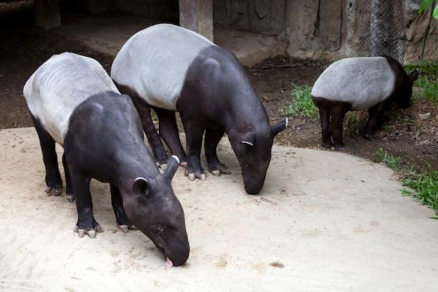 Karmienie tapirów w ciągu dnia