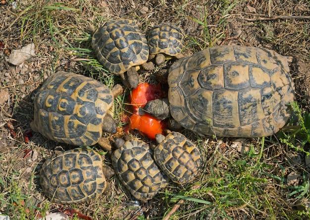 Karmienie żółwi hermann