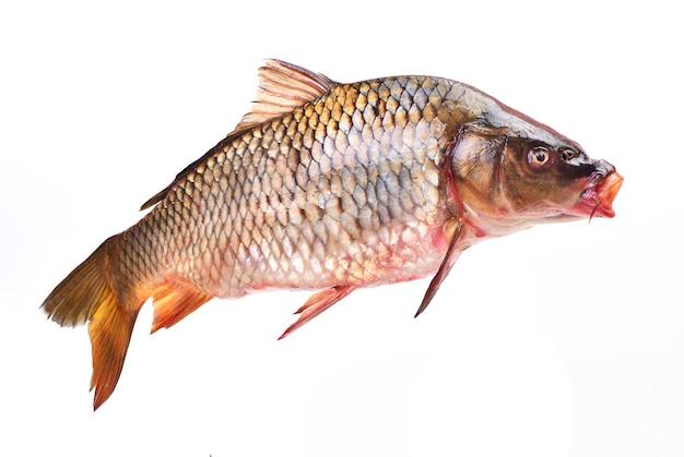 Karp rybny