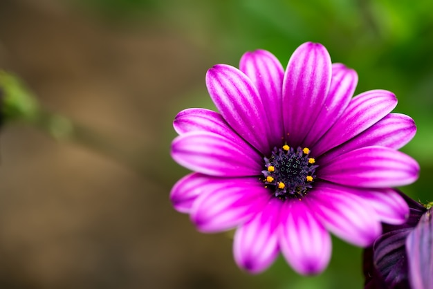 Karta uczuciowa ze świeżym delikatnym kwiatem afrykańskich stokrotek na niewyraźne naturalne tło.