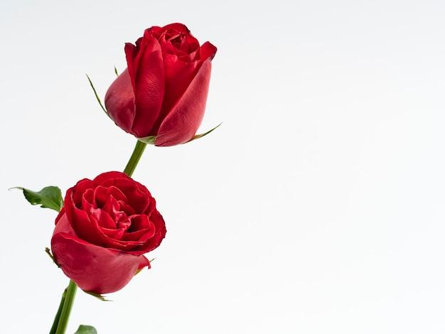 Karta walentynkowa. dwie czerwone róże.