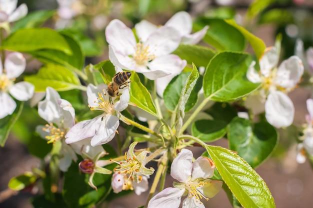 Karta wiosny koncepcji kwitnącego ogrodu. pszczoła zapyla kwiat na gałęzi
