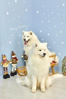 Kartka świąteczna z białym samoyedem, nowy rok