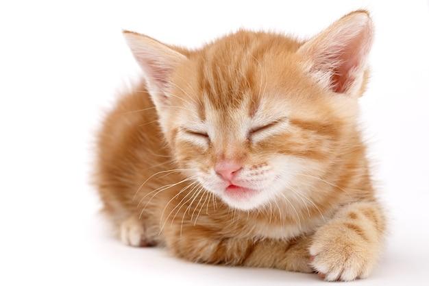 Kasztanowy kociak w paski leży na białym tle