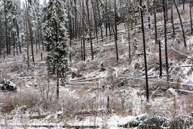 Katastrofa leśna. las poległych drzew świerkowych po stronie góry zimą.