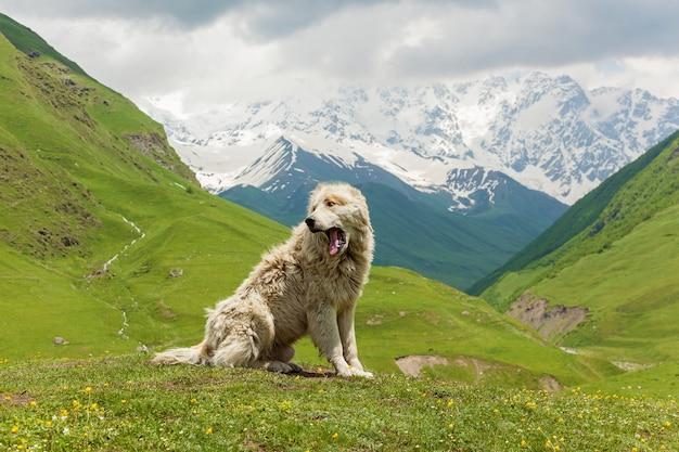 Kaukaski pies pasterski do straży bydła we wsi uszguli. swanetia, gruzja
