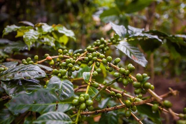 Kawa luwak. egzotyczna turystyka podróżnicza. reszta równika. bali, indonezja