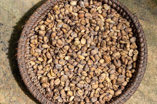 Kawa luwak, nieczyste ziarna kawy, z bliska. kopi luwak to kawa, która zawiera częściowo strawione wiśnie kawowe zjedzone i wydalone przez azjatyckiego cyweta palmowego. wyspa bali, ubud, indonezja