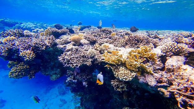 Kawałek koralowca, który znajduje się pod wodą morza czerwonego, pływało wiele ryb