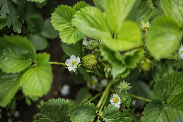 Kawałek zielonych truskawek w ogródzie.