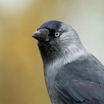 Kawka zachodnia (corvus monedula) w lesie.