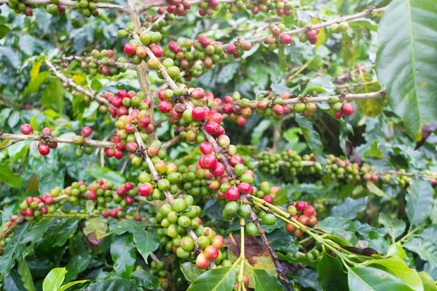 Kawowe fasole na kawowym drzewie przy doi chaang kawową plantacją w chiang raja prowinci, tajlandia.