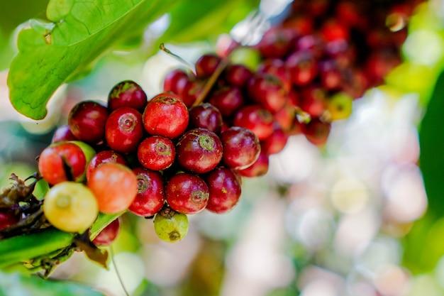 Kawowe wiśnie z rośliny są źródłem ziaren kawy do stworzenia napoju kawowego