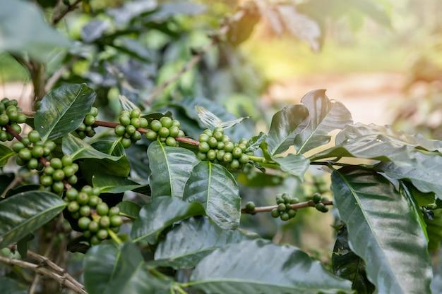 Kawowy drzewo z zielonymi kawowymi jagodami na cukiernianej plantaci.