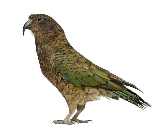 Kea nestor notabilis to papuga stojąca na białym tle
