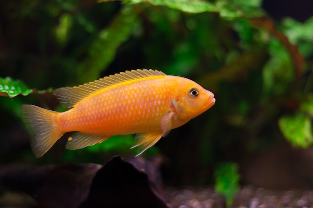 Kenyi cichlid maylandia lombardoi aquarium fish