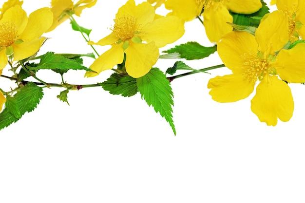 Kerria japonica żółte kwiaty na białym tle.