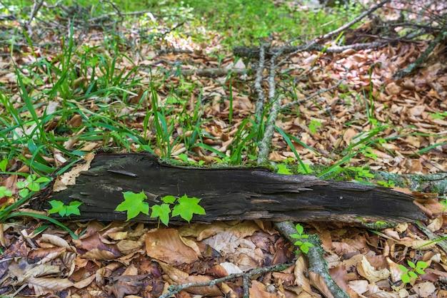 Kiełek młodego drzewa w lesie