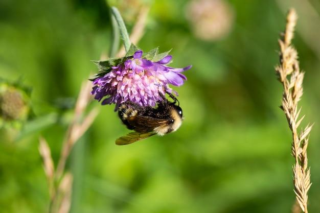 Kieliszek makro trzmiela zbierającego pyłek z kwiatu scacious pola z miejscem na tekst. płytkie głębie, selektywne skupienie.